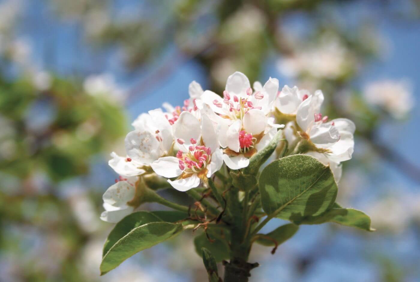 Apfelblüte, Apfelland