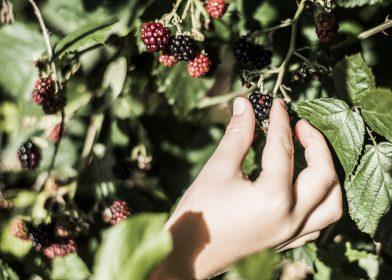 Beeren pflücken im hoteleigenen Garten